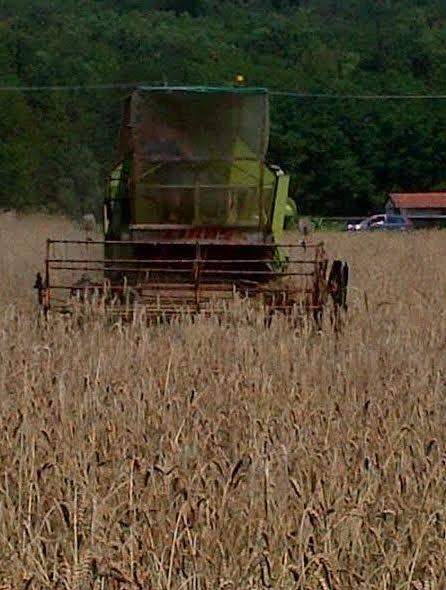 Trebbiatura del grano a Cuirone